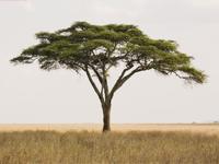 Acacia – a massive variety