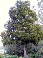 Acacia Blackwood