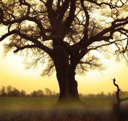 Oak Small image